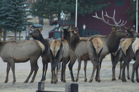 ABG Blog- elk at Estes