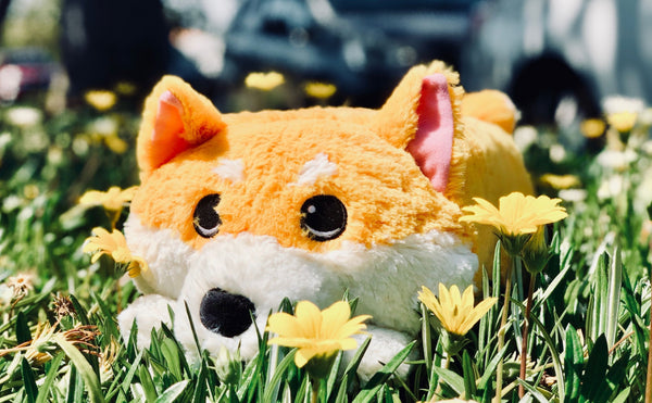 Miso the Shiba Inu on Kickstarter for Adoption