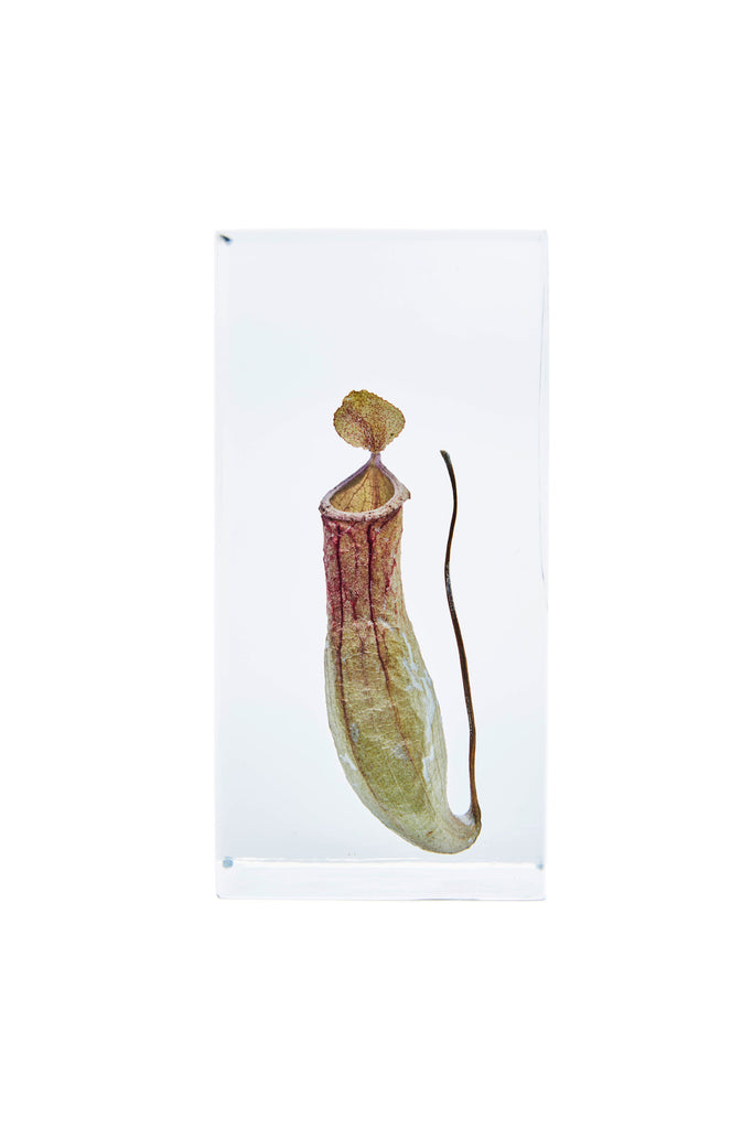Nepenthes alata Blanco