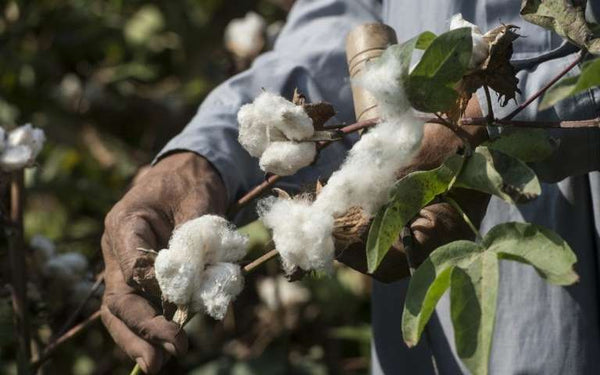 Egyptian Cotton Farming