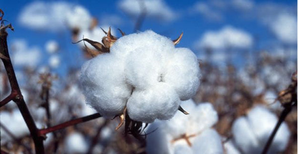 cotton come from
