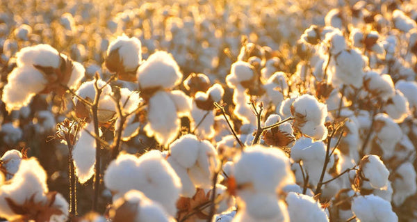 where_does_cotton_come_from
