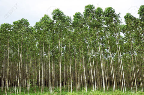 eucalyptus oil many uses organic gardening