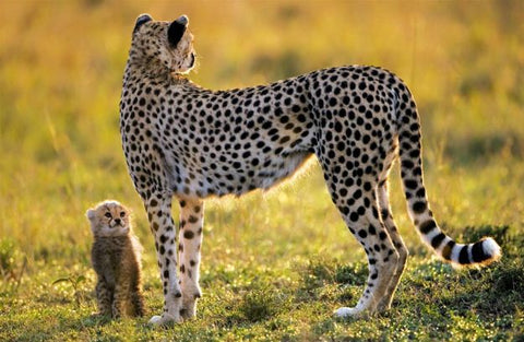 cheetah with young