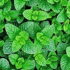 mint indoor gardening