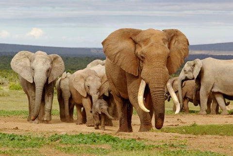 African elephant mother