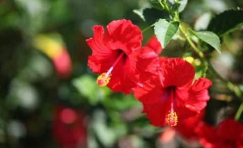 edible hibiscus flower