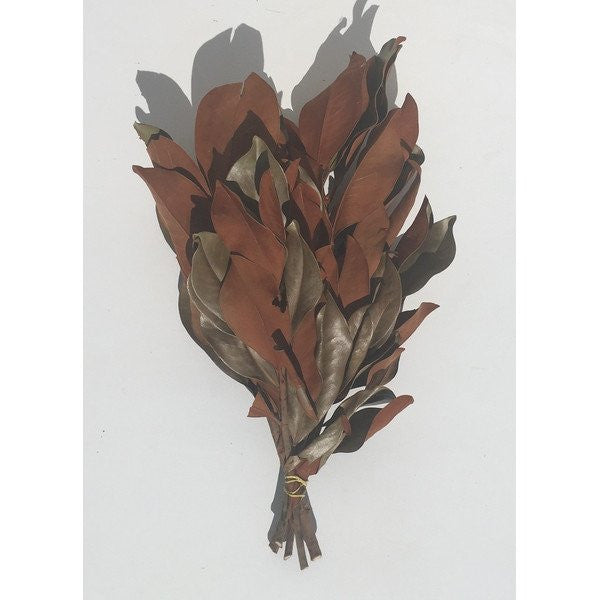Southern Magnolia Branches And Leaves - 5 Stems - 12