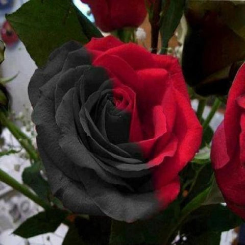 50 Pieces Rare Black And Red Variety Color Rose Flower Seeds