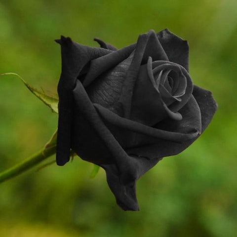 50 Pieces Rare Black Variety Color Rose Flower Seeds