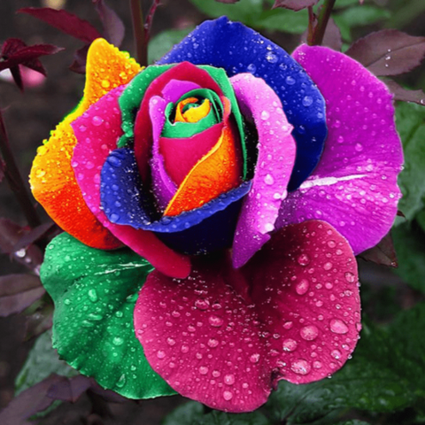50 Pieces Rare Rainbow Color Rose Flower Seeds