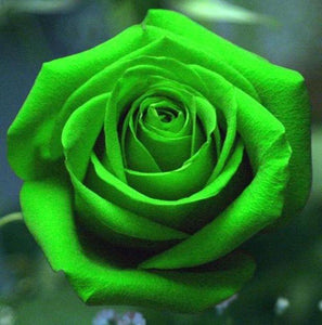 50 Pieces Rare Green Rose Flower Seeds