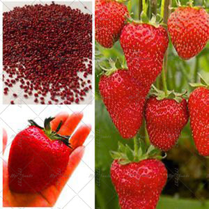 50pcs Strawberry Seeds
