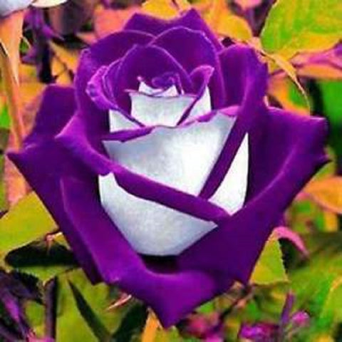 50 Pieces Rare Purple And White Variety Color Rose Flower Seeds
