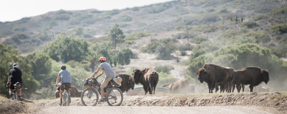 three men on bicycles riding near buffalos