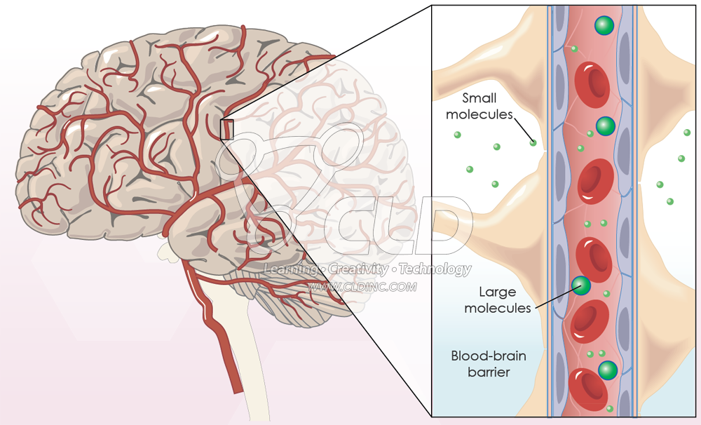 What is the brain blood barrier?