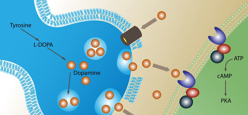What is dopamine and how does it effect you?