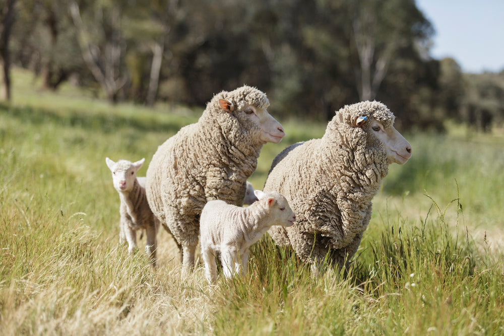 Merino sheep grow the fibre of choice