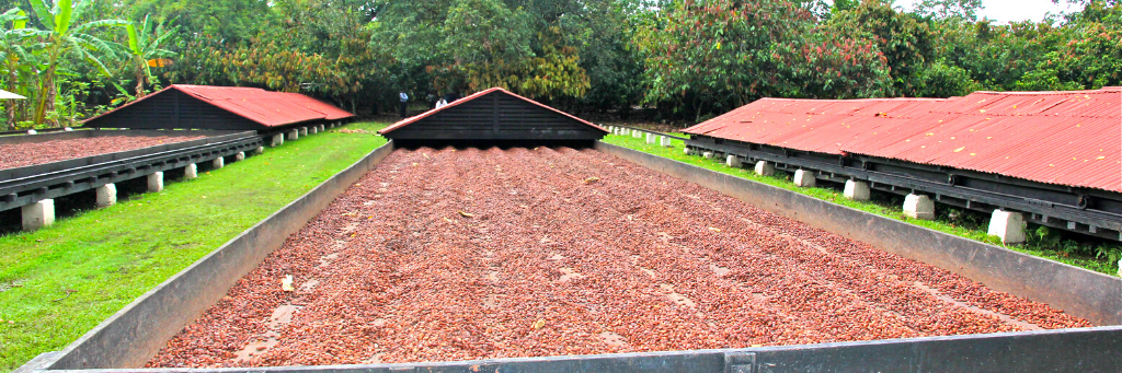 Harvested cocoa drying