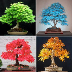 20 Seeds - Japanese Bonsai Maple Tree Seeds