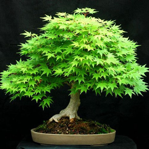 20 Seeds Japanese Bonsai Maple Tree Seeds Go Bazaaro