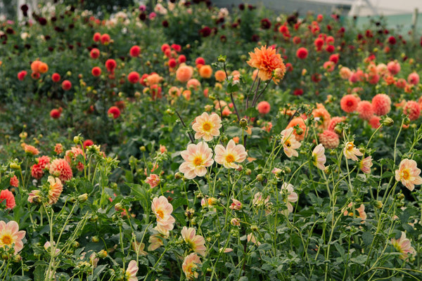 How to Grow Dahlias - Quick Tips