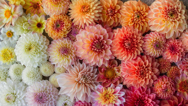 My Top 10 Dahlias for Cutting