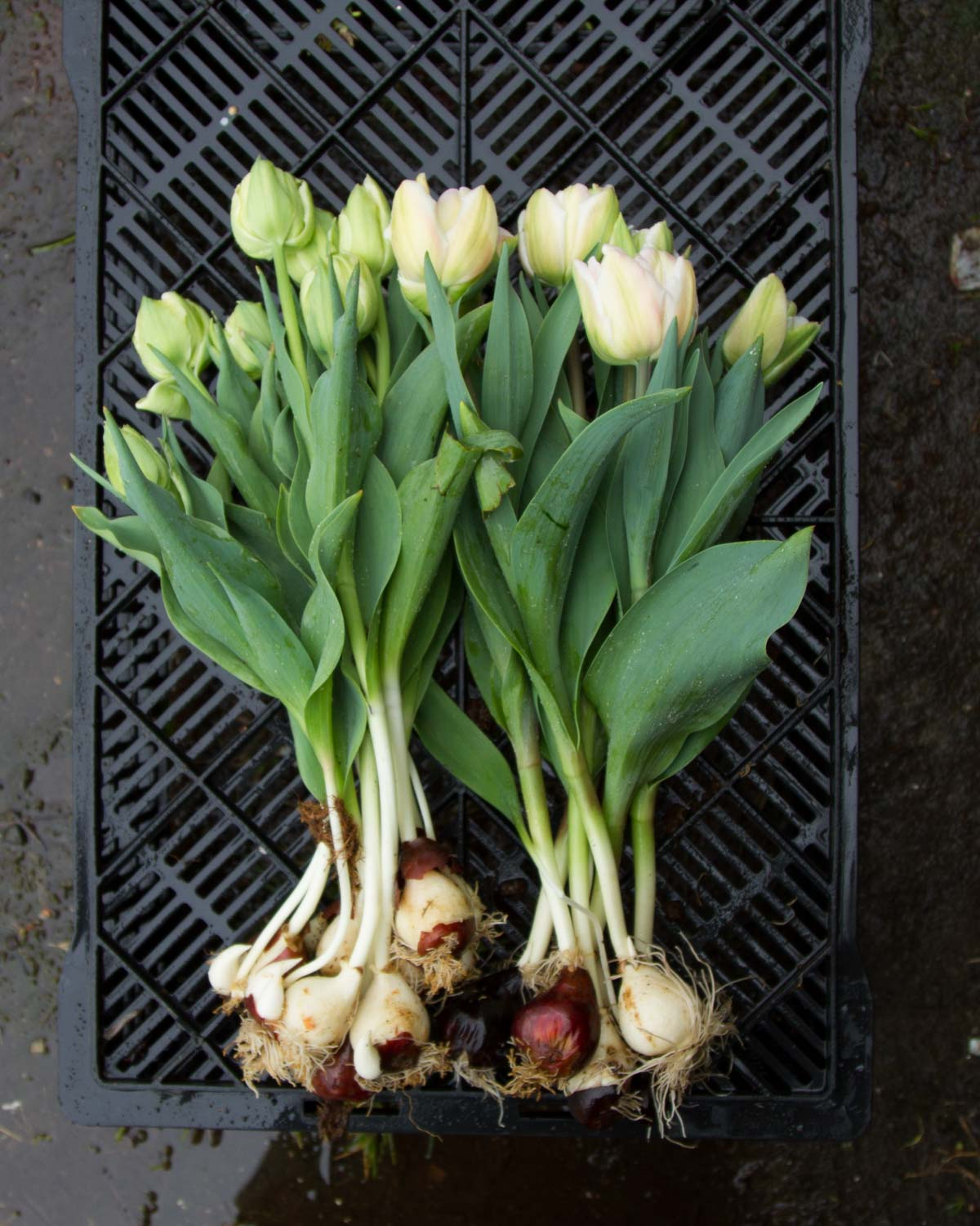 Harvesting Foxtrot Tulips with their bulbs on - for cut flowers