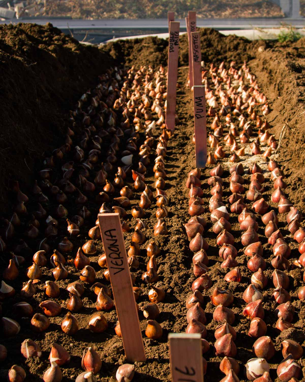 Planting Tulips in a trench