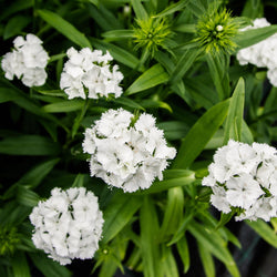 Dianthus - Sweet White
