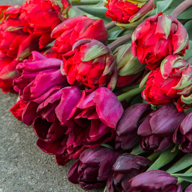Tulip Mix - Berry Shades - Bulbs