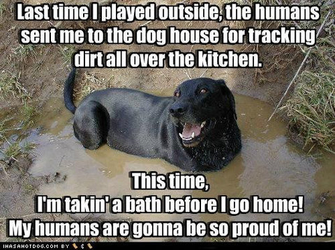 Black lab meme