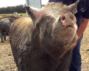 Happy Ethically Farmed pig covered in mud