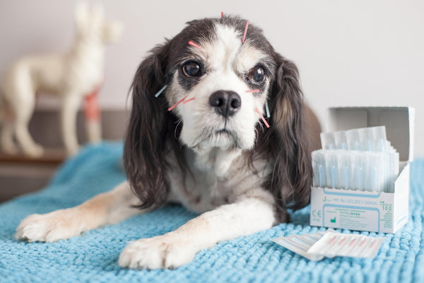 Dog with acupuncture needles in it's body