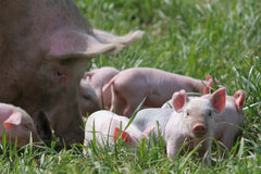 Free-Range pigs are happy grazing