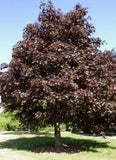 Acer platanoides 'Royal Red Maple'