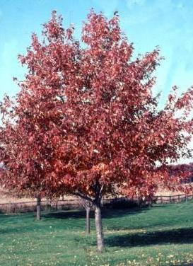 Acer rubrum 'Red Sunset Maple'