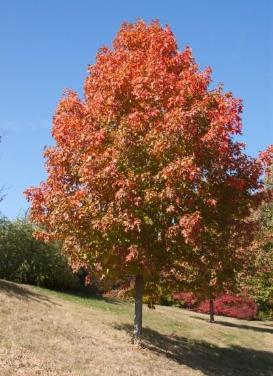 Acer saccharum 'Fall Fiesta Maple'