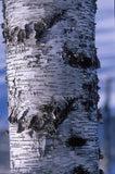 Betula populifolia 'Whitespire Birch'