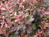 Berberis thunbergii 'Crimson Pygmy Barberry'