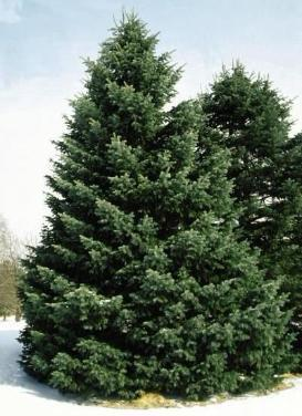 Abies concolor 'Concolor Fir'