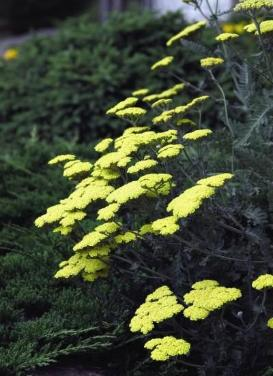 Achillea 'Moonshire Yarrow'
