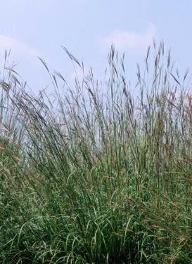 Andropogon gerardii 'Big Bluestem'