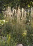 Calamagrostis acutiflora 'Karl Foerster Feather Reed Grass'