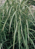 Miscanthus sinensis 'Variegated Japanese Silver Grass'