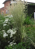 Calamagrostis acutiflora 'Avalanche Feather Reed Grass'
