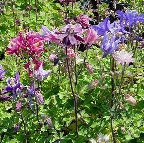 Aquilegia 'Biedermeir' Columbine