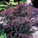 Berberis thunbergii 'Rose Glow Barberry'