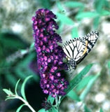Buddleia davidii 'Black Knight Butterfly Bush'