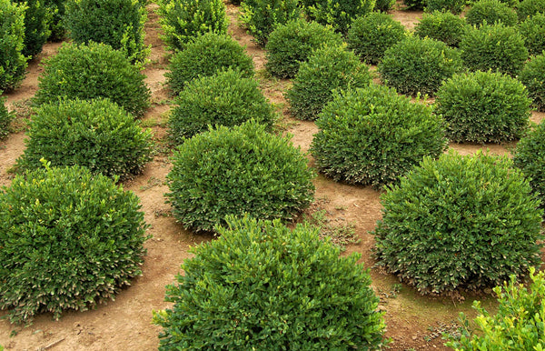 Buxus 'Green Velvet' Boxwood